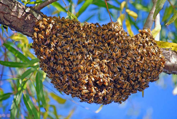 Honey bee swarm in a tree